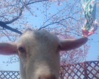舞鶴公園桜まつり